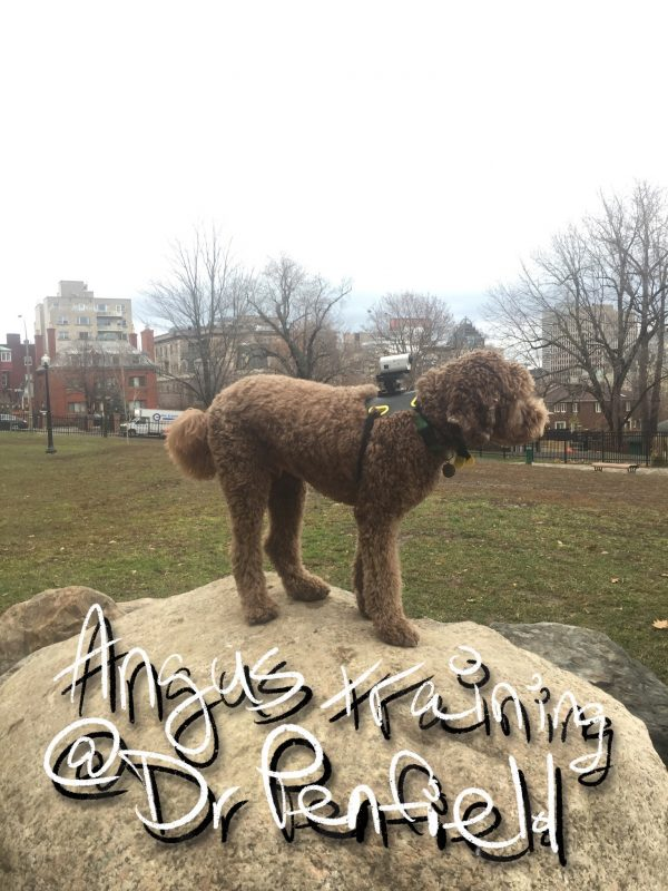 Labradoodle training - Downtown Montreal | Montreal's Dog